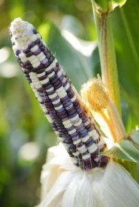 Ear of Blue Corn