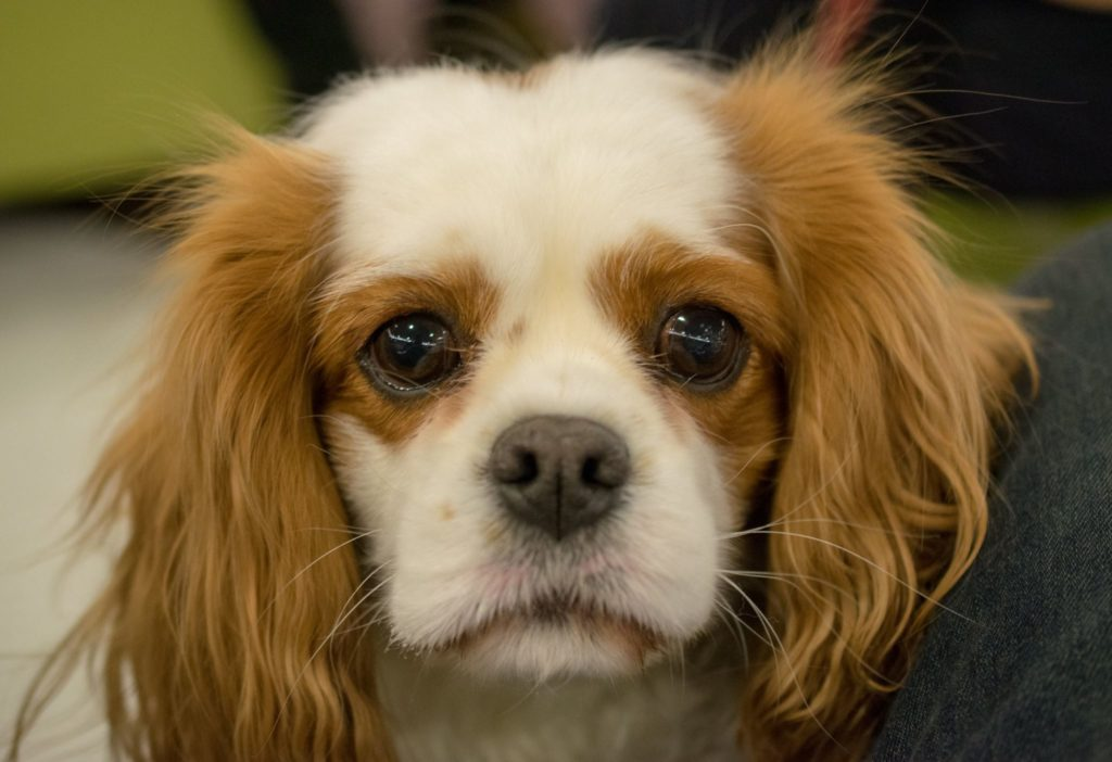 a cavalier king charles spaniel and member of a habic team photographed at a CSU de-stress with dogs event for students