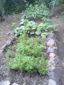 a kitchen garden in Burera, Rwanda.