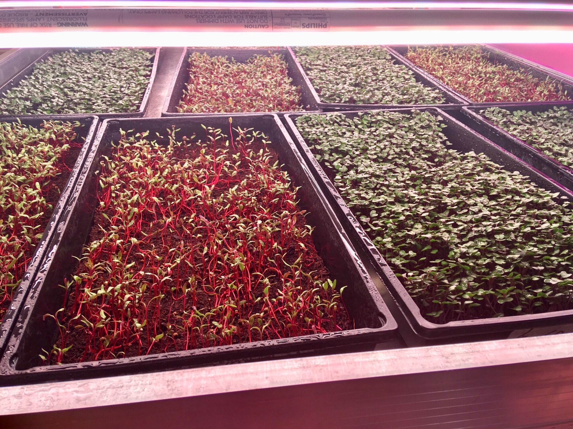 Trays of microgreens