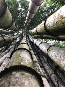 Bamboo at farm